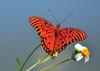 Gulf Frittilary<br /> St. Augustine, Florida<br /> 066-8885a