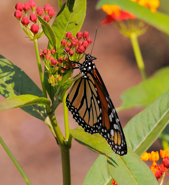 Monarch Butterfly<br /> Columbia, South Carolina<br /> 91-9061