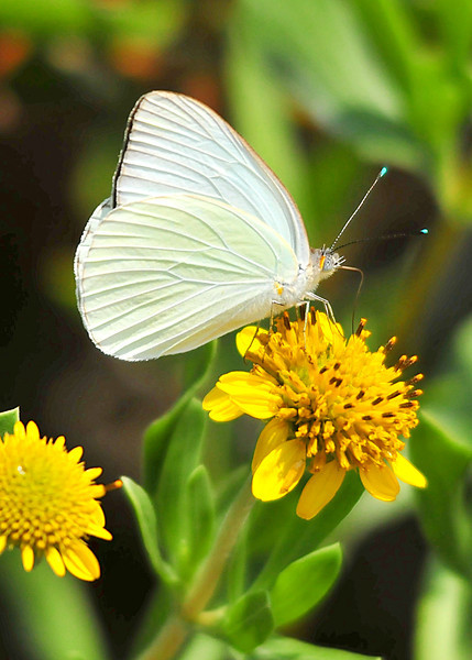 Great Southern White Butterfly<br /> Merritt Island, Florida<br /> 053-5840a