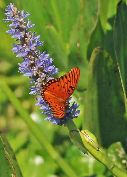 Gulf Fritillary and Green Tree Frog<br /> Viera, Florida<br /> 148-1858a