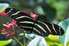 Zebra Long-wing<br /> Melbourne, Florida<br /> 97-0885ll