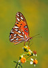 Gulf Frittilary<br /> St. Augustine, Florida<br /> 066-8873a