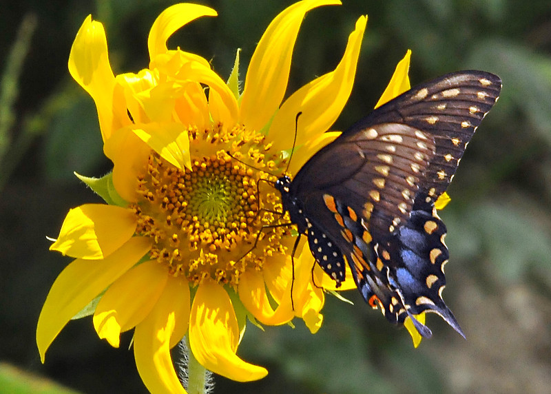 Swallowtail on Sunflower<br /> Cocoa, Florida<br /> 208-1190b