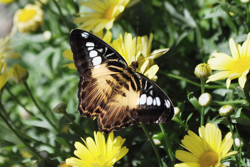 Clipper Butterfly<br /> UF Butterfly Rainforest<br /> Gainesville, Florida<br /> 34-0423c