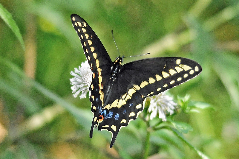 Eastern Black Swallowtail<br /> Gemini Springs<br /> 132-8634d