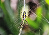 Argiope Spider<br /> Melbourne Beach, Florida<br /> 117-4643a