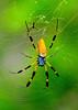 Banana Spider<br /> Merritt Island, Florida<br /> 066-8735a