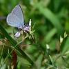 Lorquin's Blue (Cupido lorquinii)