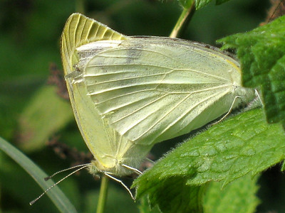 Cabbage Whites Mated