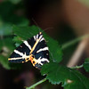 Jersey Tiger Moth - August 2008, Switzerland