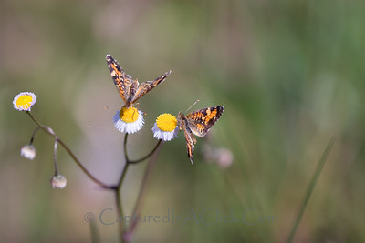 Phaon Crescent Butterflies