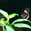 Crimson-patched Longwing