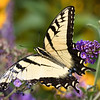 Eastern Tiger Swallowtail - NY-NJ Interstate Lookout, Aug 2019
