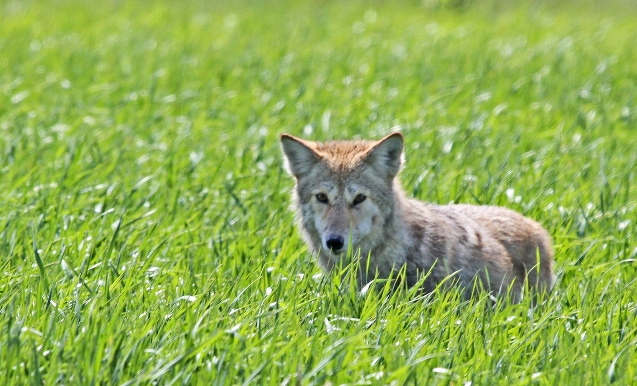 Coyote - April 2,.2012 at Fermilabs in Batavia, IL. This coyote exposed himself in the the grass about a 100 yards from the main road. He seemed well fed and quickly hid in the tall grass again.