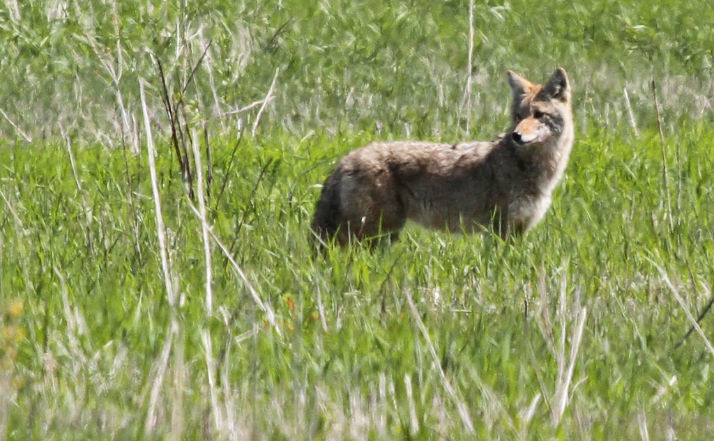 Coyote - April 2, 2012 at Fermilabs in Batavia. Another well fed coyote, but not as shy as the previous one.