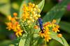 black wasp on lantana flowers