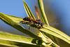 5 banded wasp