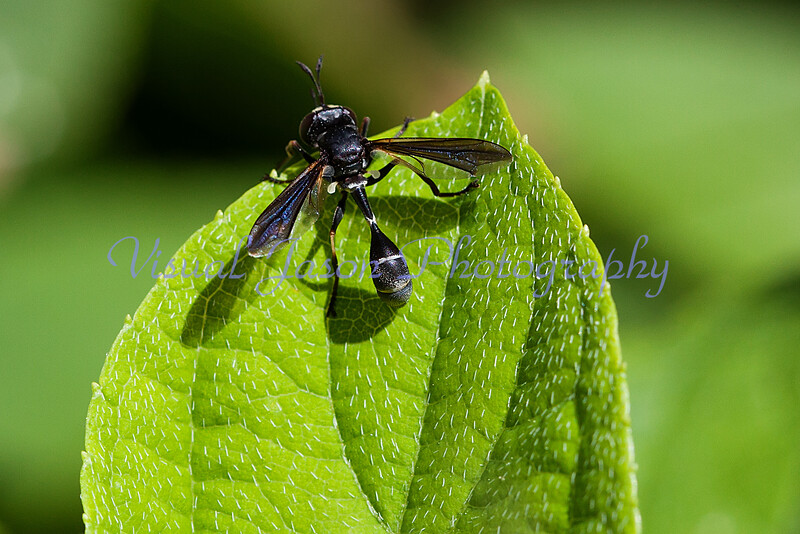 Black and white wasp