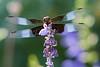 skimmer dragonfly
