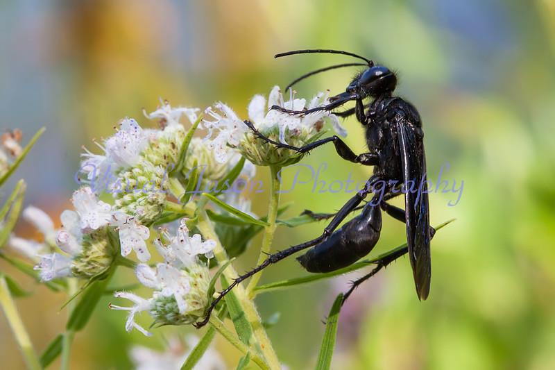 Black Wasp