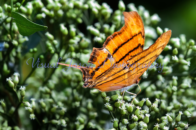 Ruddy Daggerwing<br /> Marpesia petreus