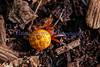 Orange Marbled Orb Weaver <br /> Araneus marmoreus