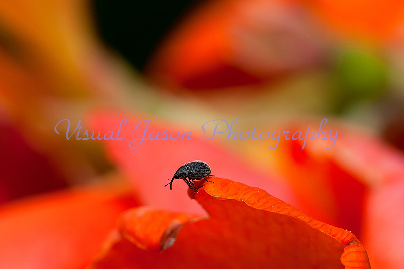 Snout Weevil<br /> Ceutorhynchus alliariae