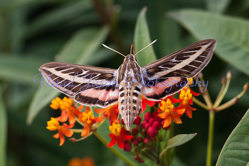 Sphinx Moth<br /> Hyles lineata