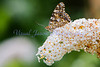 Painted Lady Butterfly<br /> Vanessa cardui