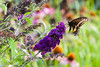 Black Butterfly on a Black Knight Butterfly Bush!