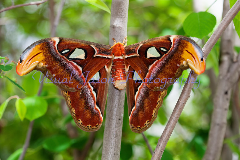 Atlas Moth<br /> (Attacus atlas)