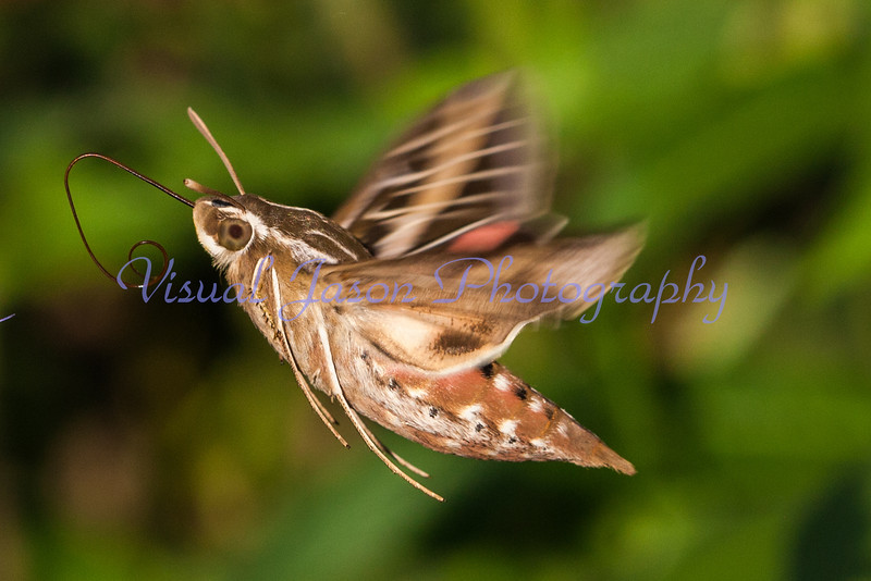 Sphinx Moth<br /> Hyles lineata
