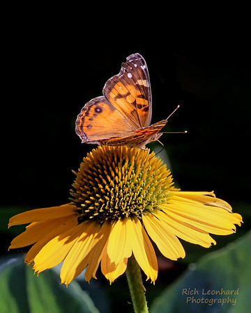 Butterfly on flower at Wave Hill, Bronx, NY.