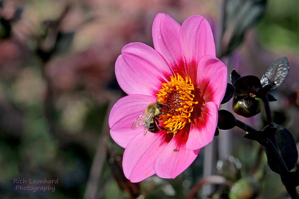 Beautiful Dahlia with Bee at Wave Hill, Bronx, NY.