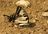 Tiger Swallowtail,<br /> Maryland (on riverbank),<br /> August 2006