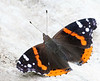 Red Admiral,<br /> Bloomington, IL,<br /> July 2007