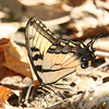 Tiger Swallowtail (very interested in a dead fisth),<br /> MLT Nature Sanctuary,<br /> Liberty, MO,<br /> August 2007