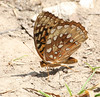 Great Spangled Fritillary,<br /> MLT Nature Sanctuary,<br /> Liberty, MO,<br /> July 2007