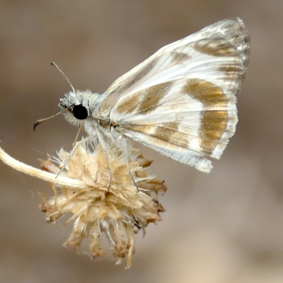 H03973 P158HeliopetesMacaira839 July 14, 2016 8:35 a.m. P1580839 This is Heliopetes macaira, the Turk's-Cap White-Skipper, at LBJ WC. Hesperiid
