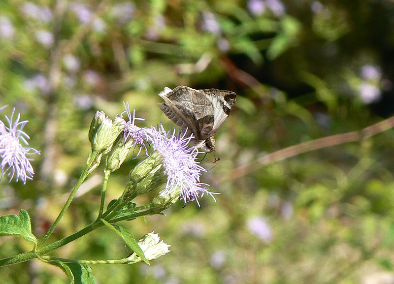 H03972  P105HeliopetesLaviana163 Nov. 24, 2008  11:03 a.m.  P1050163   Laviana White Skipper, Heliopetes laviana, a male on Crucita at 2601.  Hesperiid.