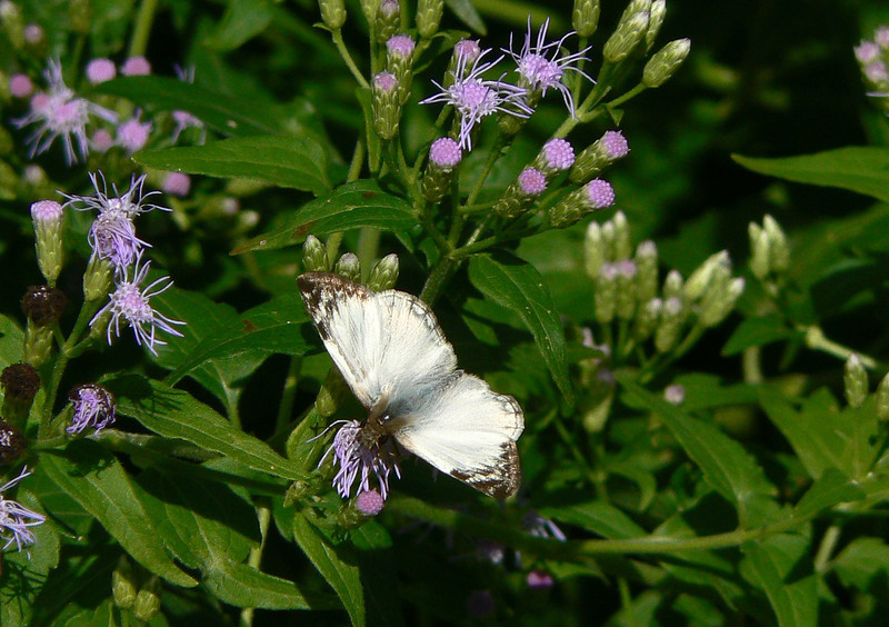 H03972  P105HeliopetesLaviana160 Nov. 24, 2008  11:01 a.m.  P1050160  Laviana White Skipper, Heliopetes laviana, a male on Crucita at 2601.  Hesperiid.