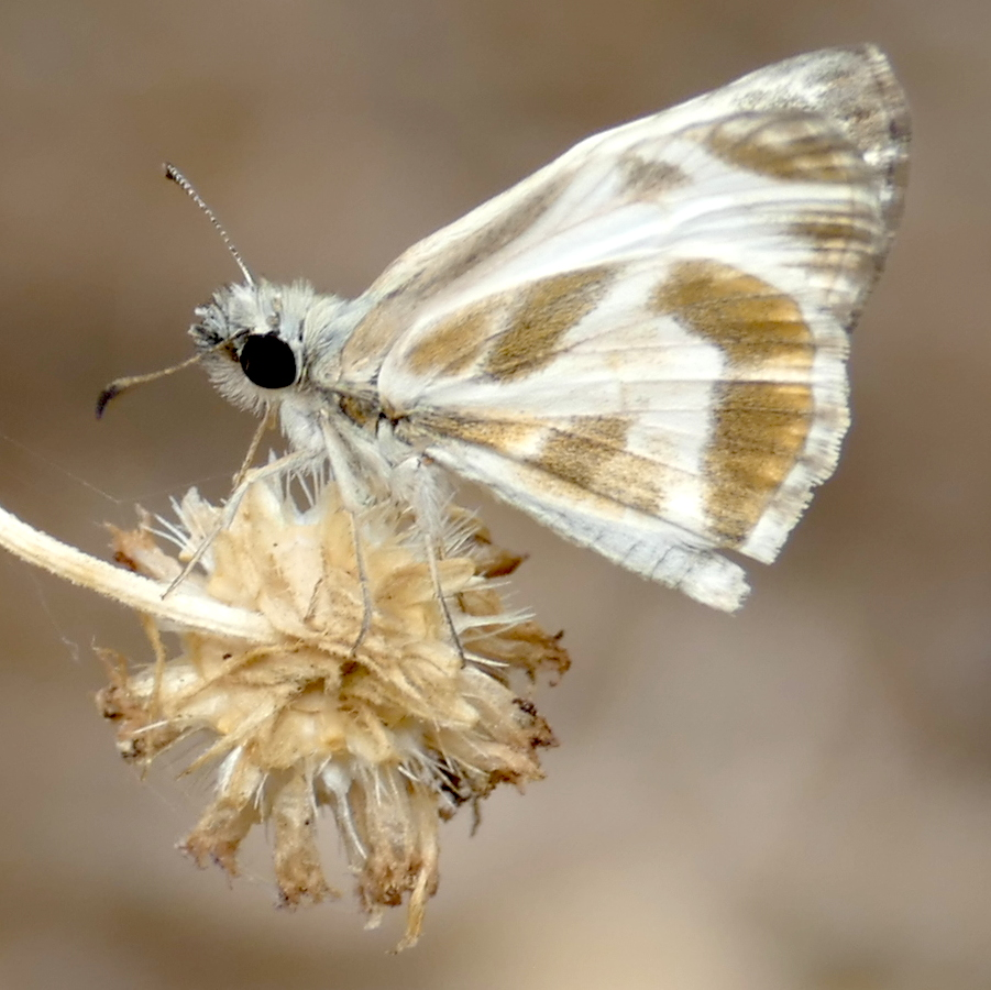 H03973  P158HeliopetesMacaira836 July 14, 2016  8:35 a.m.  P1580836 This is Heliopetes macaira, the Turk's-Cap White-Skipper, at LBJ WC.  Hesperiid.