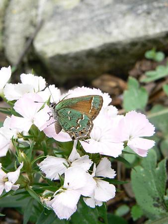 Butterflies around Austin
