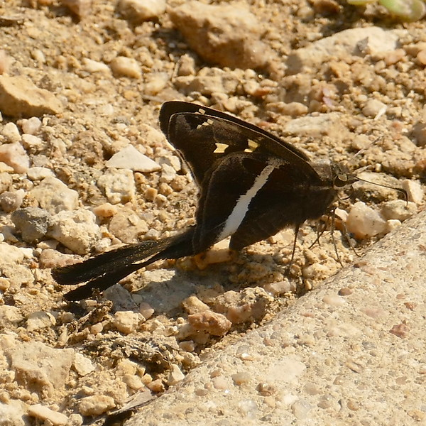 H03874  P168ChioidesAlbofasciatus047 June 8, 2017 10:09 a.m. P1680047 This is one of several White-striped Longtail butterflies, Chioides albofasciatus, seen today at LBJ WC, as well as more larvae. The larva I photographed last week is gone, eaten by a bird or something, or perhaps taken to the insectary by staff. Hesperiid.