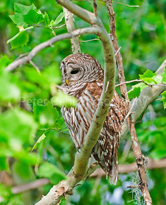 Barred Owl within limbs