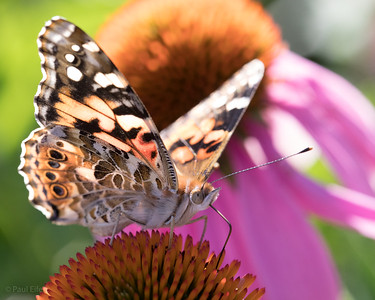 Swallowtail Butterfly at the Concordia City Farm School