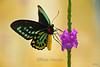 Australian Birdwing