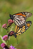 Mating Monarchs