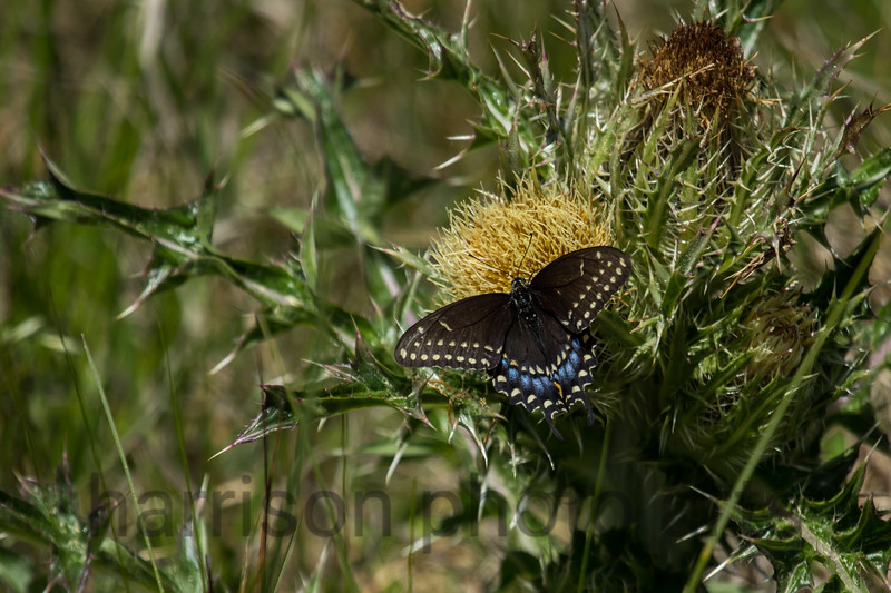 Black Swallowtail<br /> Chincoteague National Wildlife Refuge, VA