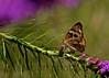 Buckeye<br /> Juonia coenia